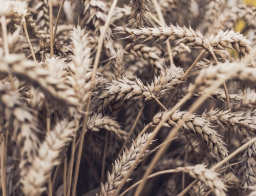 Wheat Causes Inflammation: Fact or Fiction?
